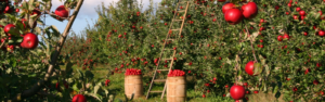 glean fruit trees - Nevada County