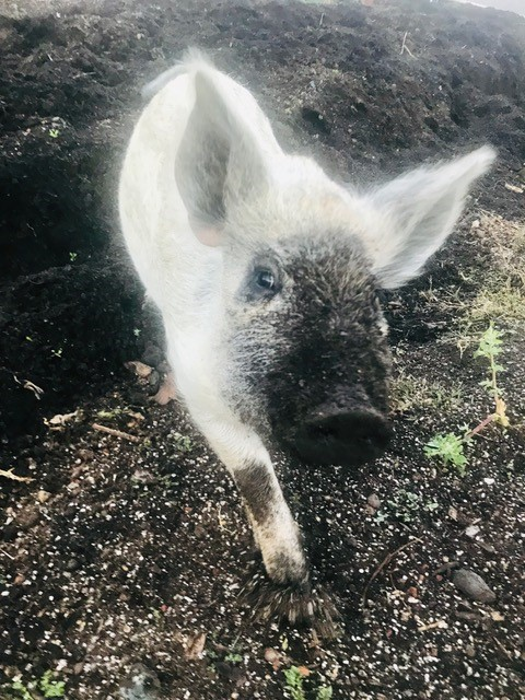 cosmic roots ranch pig 2018