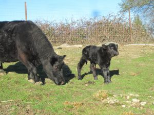 bitney springs farm - cow