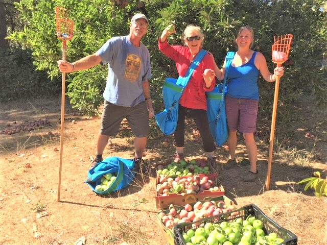 Bill, miriam and heidi picking fruit for gold country gleaners 2018