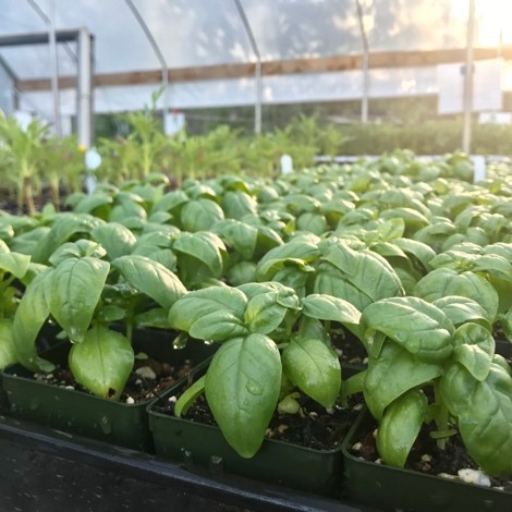 basil in greenhouse at food love farm - plant sales